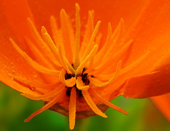Enticement  3376 (casch52) Tags: california orange flower macro 20d canon photo flora bravo native seeds petal photograph stamen poppy wildflower cutaway supershot enticement flickrsbest impressedbeauty aplusphoto diamondclassphotographer familygetty