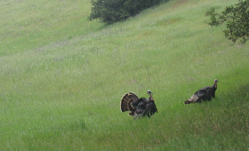 Turkeys hanging around