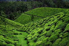 More Fields of Tea (halfgeek) Tags: india tea kerala badge plantation teaplantation munnar pleasantlytilted tatatea