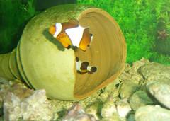 clownfish (aZ-Saudi) Tags: water nemo arabic clownfish saudi arabia ksa   arabin  arabs