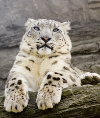 My, Grandma, What Big Paws You Have! (Patrick Costello) Tags: d50 bravo explore marwell snowleopard naturesfinest supershot specanimal animalkingdomelite impressedbeauty