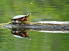 Reflections of a Turtle (nature55) Tags: nature outdoors turtle wildlife mercer upnorth secretspot flickrsbest turtleflambeauflowage 125explorepages