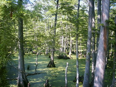 Big Cypress Bayou (Jay Carriker) Tags: trees tree landscape flora 100views wetlands fav 50views easttexas wikicommons jeffersontexas bigcypressbayou creativecommonsattributionsharealikelicensev25 failedpicnoteverypiccanbeperfect dwcfflandscape