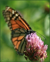 a change of focus (Rebecca) Tags: flower butterfly mississippi clover