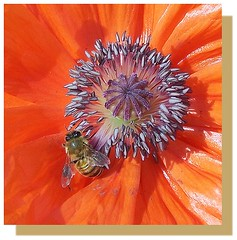 Bee on Poppy (Child of the King Photography) Tags: flowers bees colorphotoaward