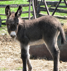 Baby donkey - EEE-ORRR
