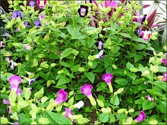Background picture of torenias in our garden bed, used for this photo collage tutorial