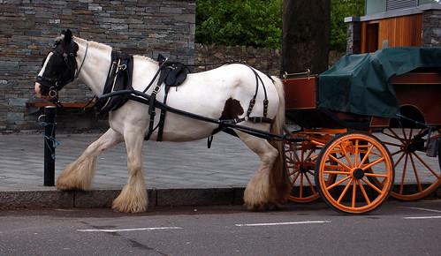 Killarney horse