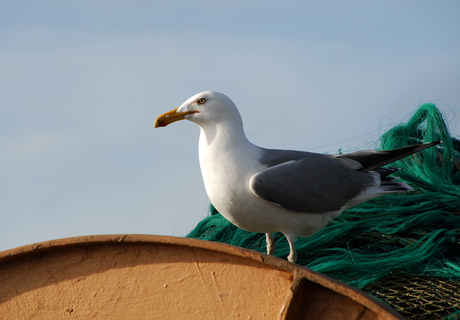 gull and fish nets