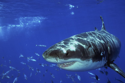 Great White Shark and Mackerel at Guadalupe Island, Mexico