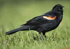 Craw! (lissyssil) Tags: toronto ontario highpark sony alpha redwingedblackbird craw dslra100 wwwmarkatosnet