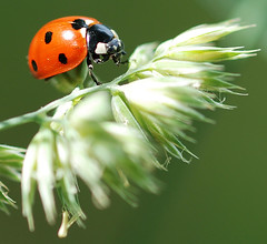 ladybug (bev short) Tags: insect 500v50f ladybug takeabow coccinellidae abw naturesfinest splendiferous supershot outstandingshots flickrsbest specanimal abigfave anawesomeshot impressedbeauty superaplus aplusphoto fantasticanimalphotos ultimateshot specinsect 200750plusfaves superbmasterpiece beyondexcellence goldenphotographer diamondclassphotographer flickrdiamond bestnaturetnc07 goldstaraward neighborhoodnw09