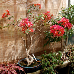 Bougainvillea Bonsai (towert7) Tags: plant color tree college d50 campus ma leaf spring university small conservatory bougainvillea bonsai amherst umass durfee