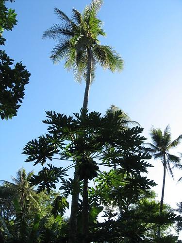 Papayier et cocotier