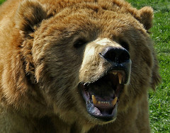 ROARRRRRRRRRRRRRR (shesnuckinfuts) Tags: bear animal mammal furryfriday roar olympicgamefarm kodiakbear sequimwa saywa experiencewa may2007 shesnuckinfuts anawesomeshot washingtonstateoutdoors favoritesonly potwkkc38