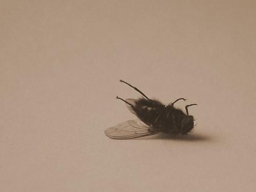 Dead fly - FUTAB