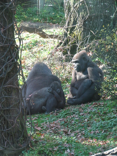 Gorillas at the Bronx Zoo