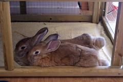 Pips (Sjaek) Tags: sleeping pet cute rabbit bunny animal furry sweet sleep adorable fluffy pip