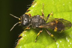 """Digger Wasp • <a style=""""font-size:0.8em;"""" href=""""http://www.flickr.com/photos/57024565@N00/511193844/"""" target=""""_blank"""">View on Flickr</a>"""
