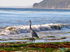 gaviota coast (artfilmusic) Tags: ocean bird beach heron gaviotaca