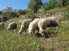 Sheep @ Nazareth Village_0721