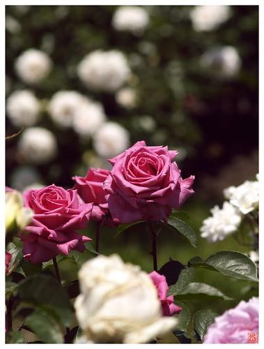 Rose 070520 #31