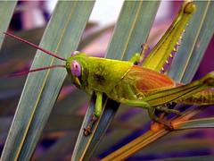 Grasshopper (Mangiwau) Tags: indonesia java jakarta batavia jawa sunda tangerang bintaro banten anawesomeshot