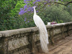 White Beauty ( Graa Vargas ) Tags: white bird gallery peacock explore whitepeacock  interestingness42 i500 graavargas duetos 2007graavargasallrightsreserved 10259303141012
