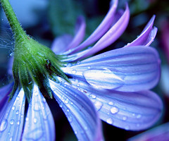 Upside Down Umbrella (beautyinmetal AKA 'M' from S&M Photography) Tags: blue flower macro green wet water rain umbrella purple violet daisy droplet soe gerber naturesfinest flowerotica masterphotos abigfave colourartaward alemdagqualityonlyclub