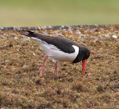 roof bird scotland bill moss feeding oystercatcher sutherland dornoch anawesomeshot royalgolfhotel flickrelite