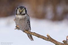Chouette épervière / Northern Hawk Owl (Pierre Lemieux) Tags: saintaugustindedesmaures québec canada chouetteépervière northernhawkowl neige oiseau bird snow