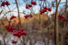 Berry Xmas (NVOXVII) Tags: berry berries nature plant christmas xmas festive december winter tones red dof depthoffield nikon twigs