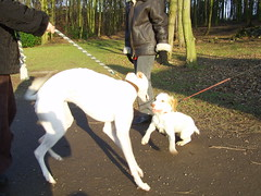 dogfight (shoot rampton) Tags: life hairy dog greyhound white silly cute home animal crazy fight funny walk gorgeous fast lazy stupid muppet daft chilled