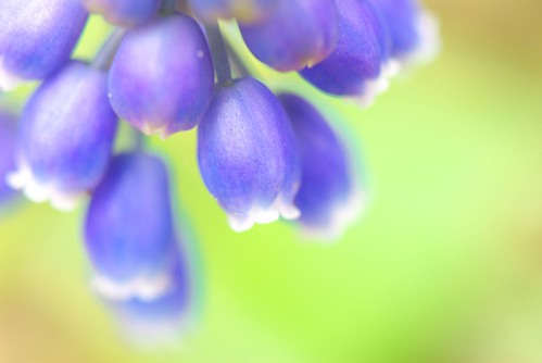 a bell of muscari
