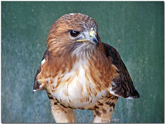 Bird of prey.. (welshlady) Tags: uk bird southwales wow ilovenature top20animalpix memorial bravo searchthebest 100views 200views trophy bandstand birdofprey cardiffcastle feathered standingovation helluva captainscott blueribbonwinner top20thingswithwings welshlady supershot 10faves outstandingshots theworldthroughmyeyes 25faves specanimal animalkingdomelite mywinner abigfave welshflickrcymru superbmasterpiece avianexcellence