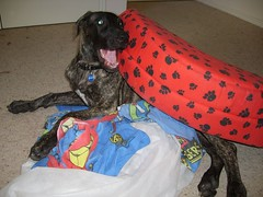 S6005183 (robstephaustralia) Tags: dog cute puppy dante great mastiff dane bullfight toro matador