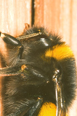 """Bumble Bee(1) • <a style=""""font-size:0.8em;"""" href=""""http://www.flickr.com/photos/57024565@N00/447551912/"""" target=""""_blank"""">View on Flickr</a>"""