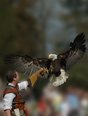 Man vs Bald Eagle (Tom Thorpe) Tags: show bird castle eagle baldeagle bald 100v10f prey warwick showcase birdsofprey birdofprey warwickcastle blueribbonwinner supershot superaplus aplusphoto