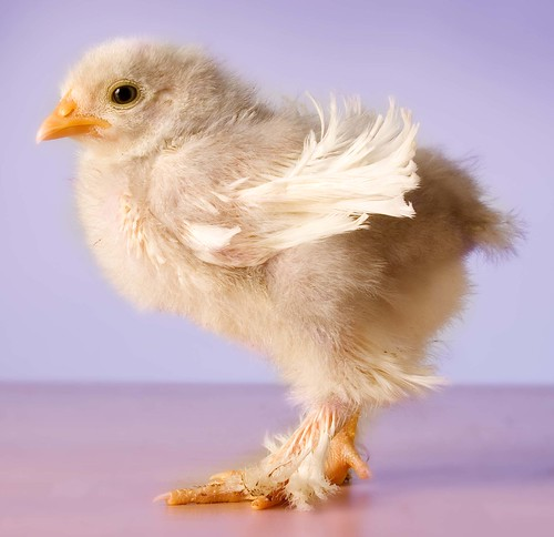 Chicken Pics: P... Easter Egger Chick