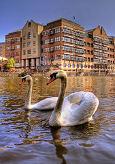 City Centre Swans (graspnext) Tags: bristol big swan harbour mute momma bigmomma featheryfriday superaplus aplusphoto superhearts photofaceoffwinner photofaceoffplatinum pfogold