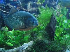 piranha!!!!