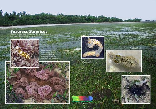 A4 Poster: Pulau Semakau Seagrass Meadows