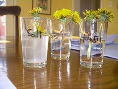 Dandelions (experiment)