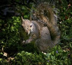 Ha....Ha....I'm In The Seed...Ha...Ha (mightyquinninwky) Tags: squirrel kentucky urbanwildlife lexingtonky frontyard fontaineroad chevychasearea
