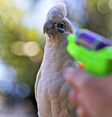 Fave This Photo... (Bill Adams) Tags: hawaii parrot explore bigisland cockatoo ccd watergun biggles waikoloa myyard bareeyed littlecorella featheryfriday canonef85mmf18usm abigfave