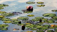 Flor de Loto (pericoterrades) Tags: agua flor nenufares lotos pericoterrades artlibre flordeloto ultimateshot goldenphotographer