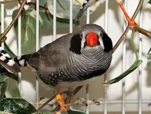 Black cheeked zebrafinch