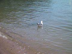 Fred, the gull (vgorchinski) Tags: angelisland birdy 2007