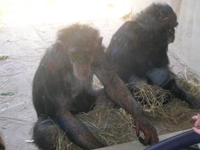 Modest Chimps