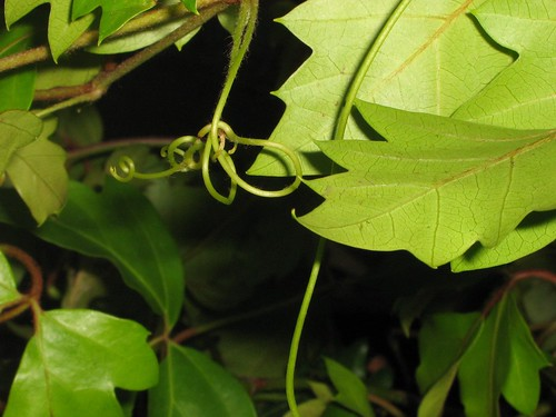 roo vine tendril